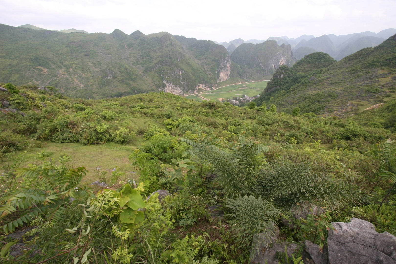 Cycas debaoensis in Fu Ping, Debao county, Guangxi, China